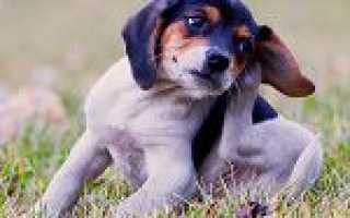 Як захистити собаку від кліщів: важливо знати