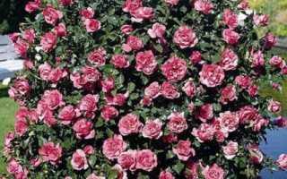 Що таке троянди шраби, особливості рослин, кращі сорти, відео