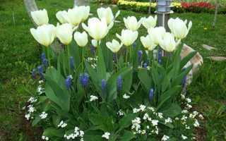 Коли викопувати тюльпани після цвітіння, як зберігати цибулини, відео