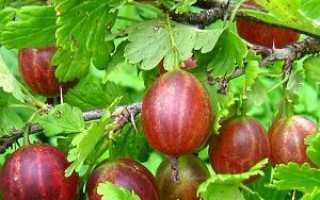 Основні способи розсадження агрусу — відео, як розсадити восени