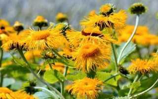 Дивосил, або Жовтий колір — опис і лікувальні властивості. фото