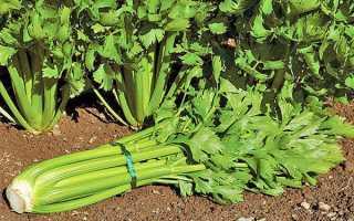 Вирощування і догляд за черешкові селерою — посів насіння, відео