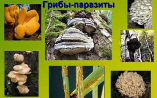 Гриби паразити — фото і опис трутовиків, ріжків, ботрітіс, кордицепса, відео