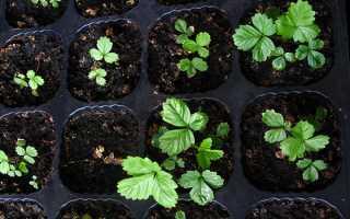 Вирощування суниці насінням — правила посадки, вибору грунту і насіння, пікіровка розсади, відео