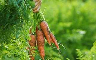 Опис хвороб моркви і способів боротьби, відео