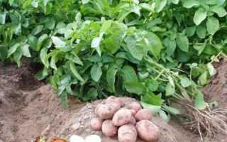 Зберігання картоплі: підготовка, в погребі, в домашніх умовах