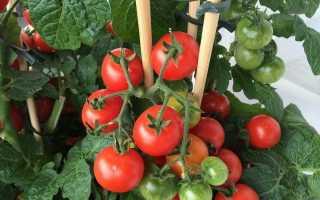 Багаторічні помідори. Томати взимку в квартирі