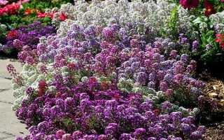 Алиссум — посадка і догляд в квітниках, вирощування з насіння, відео