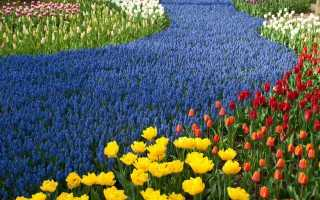 Парк Кекенхоф — королівство весняних цибулинних в Голландії. Враження від екскурсії. фото