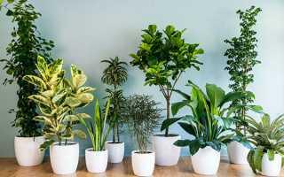 Невибагливі кімнатні рослини — правильний вибір, відео