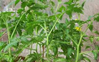 Якщо розсада помідорів зацвіла до посадки в грунт, що робити