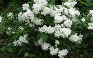 Жасмин садовий — бузок махровий, особливості рослини, популярні сорти, відео