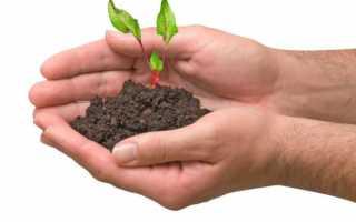 Коли садити буряки в зиму і як, подзимние сорти, рекомендації по вирощуванню