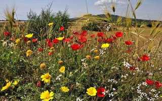 Лугові квіти — фото і назви жовтих, синіх, фіолетових польових квітів, відео