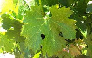 Виноградне листя — користь і шкода, корисні властивості і протипоказання + відео