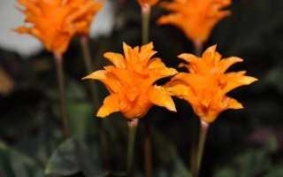 Калатея — молитовний квітка. Догляд в домашніх умовах. Види, фото