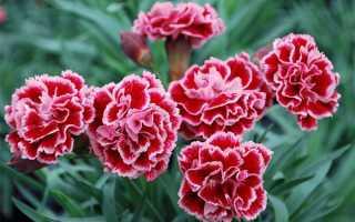Догляд за садової гвоздикою багаторічної, як прищеплювати, розмножувати, відео