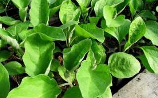 Посадка насіння баклажанів на розсаду: правила посіву, вирощування і догляду в домашніх умовах |