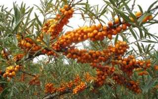 Обліпиха крушиновидная: опис і особливості вирощування, відео