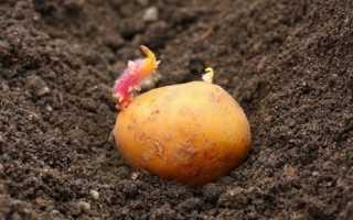 Коли садити картоплю, сортові особливості посадки, прикмети, відео