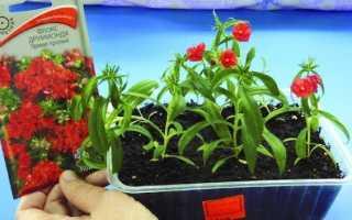 Вирощування флоксів з насіння — терміни посіву, пікіровка, відео