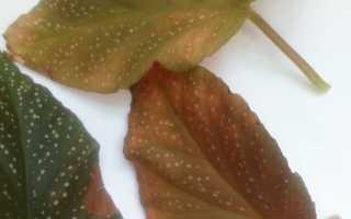 Почервоніння і всихання листя у бегонії Коралової, відео