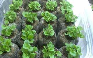Як садити петунію на розсаду в торф'яні таблетки, відео