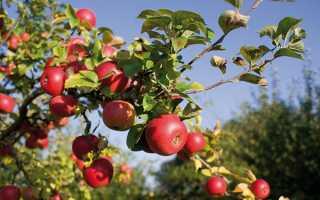 Яблуня — вирощування дерева з кореневласних саджанців, відео