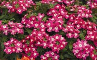 Вербена — вирощування з насіння в домашніх умовах, коли садити, фото квітів
