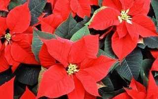 Пуансеттия квітка. Опис, особливості, види і вирощування пуансеттии