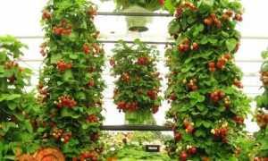 Ремонтантна полуниця — вирощування і догляд в теплиці і відкритому грунті