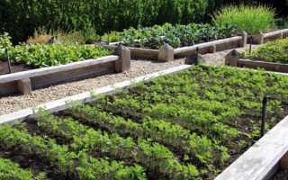 Морква Самсон: характеристика і опис сорту, його врожайність, як садити, догляд і зберігання