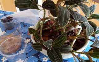Розмноження орхідеї лудізіі діленням куща, живцюванням, відео