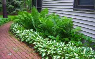 Найефектніші садові папороті. Список видів з фото