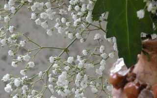 Гипсофила квітка. Вирощування гіпсофіли. Догляд за гипсофилой