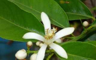 Як виростити лимон з кісточки — лимонне дерево в домашніх умовах. догляд