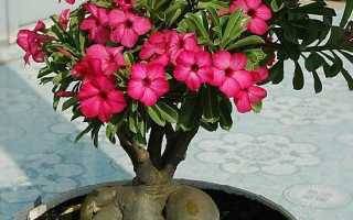 Адениум квітка. Вирощування і догляд за квіткою адениума