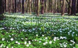 Анемона лісова, дібровна, лютічная, алтайська, лютиковая, посадка і догляд, відео