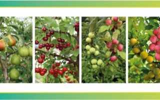 Унікальні багатосортові дерева на вашому садовій ділянці. багатосортові яблуні