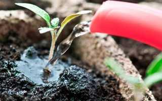 Підживлення розсади томатів і перцю йодом і дріжджами, відео