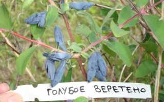 Жимолость Блакитне веретено: опис сорту, переваги і недоліки, відео