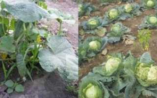 Чи можна садити огірки після капусти, які овочі підходять для неї для сівозміни, відео