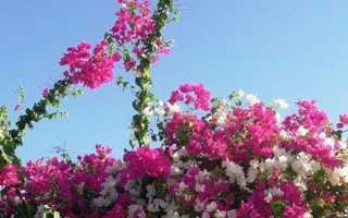 Садова бугенвиллия — вирощування і догляд, посадка в Підмосков'ї, на північному заході, на вулиці, відео