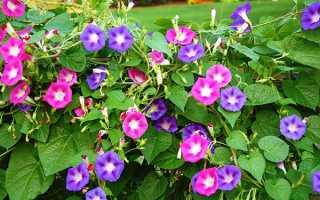 Іпомея пурпурна райські зірки — посадка і догляд, фото, відео