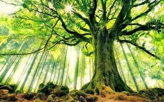 Дерево бук — де росте в Росії, опис і фото, властивості, відео