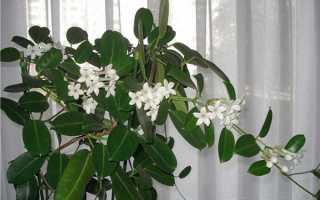 Жасмин квітка — фото і опис голоквітковий, Мадагаскарського, Самбак, багатоквіткового, крупноцветковой, японського жасмину, відео
