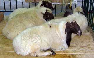 Вівчарство — зміст курдючних овець як бізнес, відео