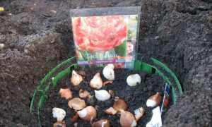 Коли садити тюльпани восени у відкритий грунт і як правильно
