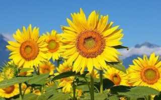 Вирощування соняшнику. Як і коли садити соняшник? Догляд за соняшником