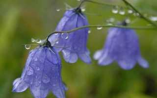Дзвіночки квіти. Опис, види і вирощування дзвіночків